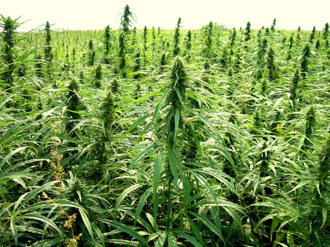 Industrial Hemp: An Introduction